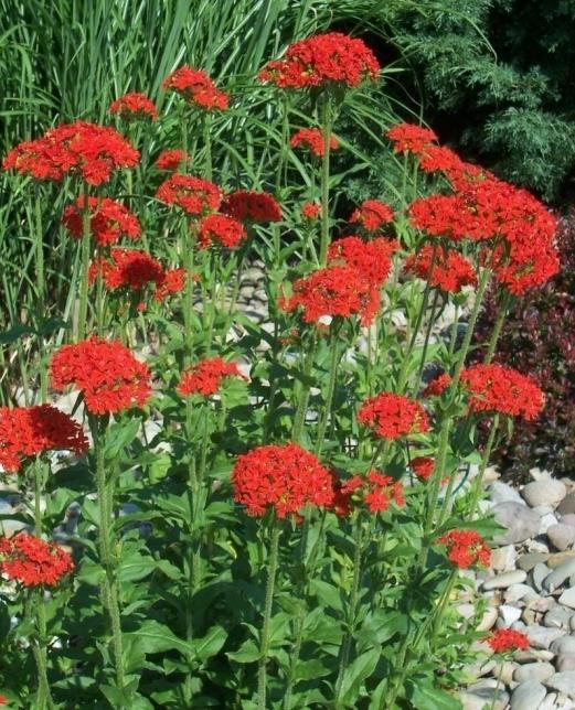 многолетний цветок лихнис