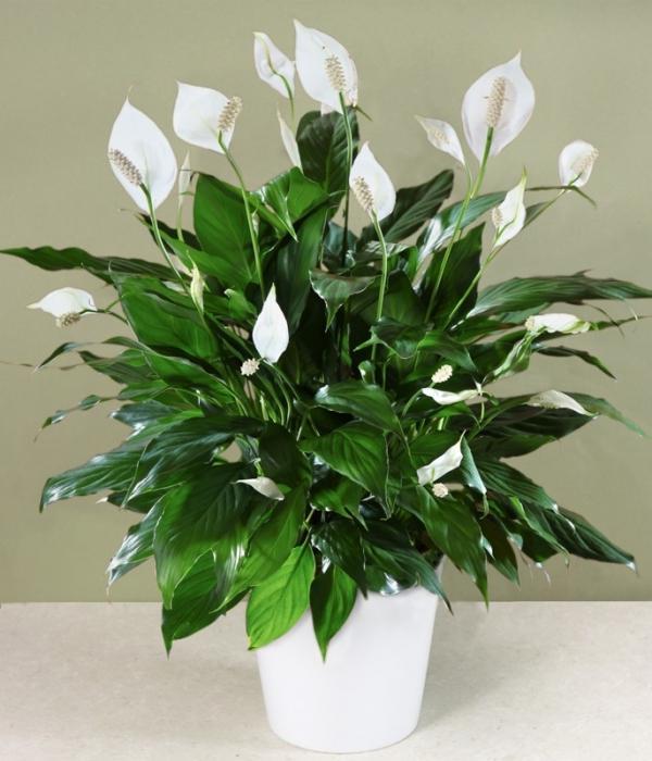 Калерия цветок - уход в домашних условиях, размножение, видео 100