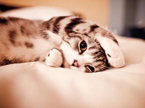 Слабительное для кота в домашних условиях