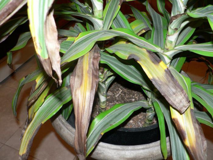 драцена листья желтеют и опадают