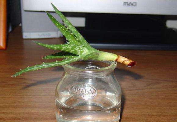 Алое растение уход размножение