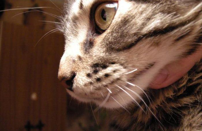 Если у кота ломаются усы что делать