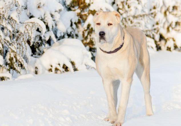 Ñ'оп 10 самых сильных собак в мире алабай