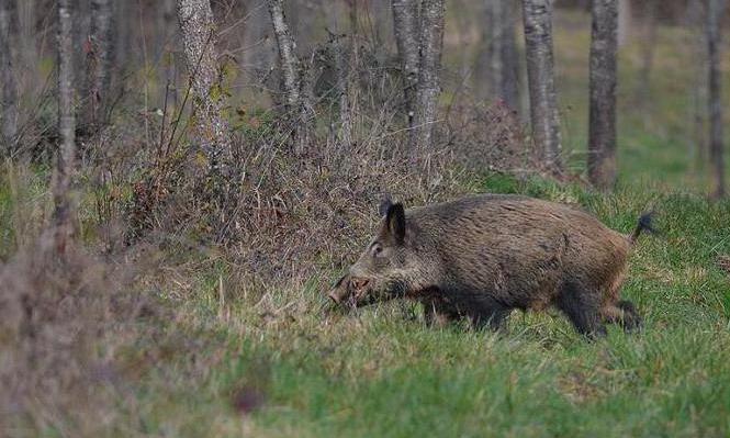 описание породы ягдтерьер и особенности охоты
