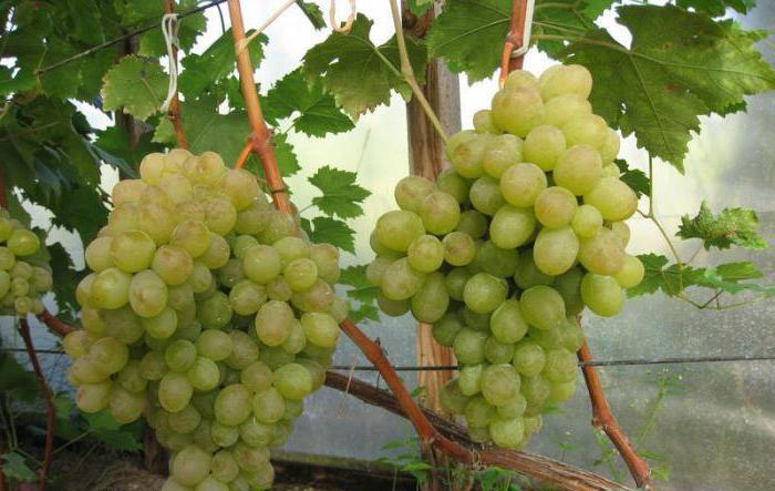 Виноград ланселот описание сорта фото