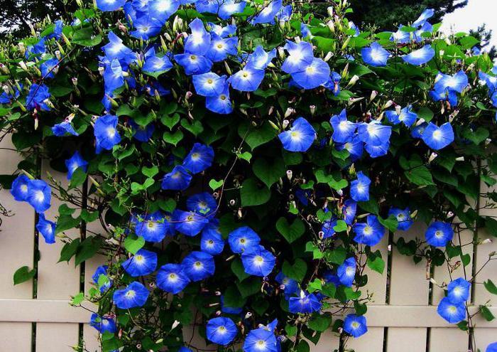 плетущиеся цветы фото