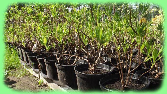 Рододендроны выращивание и уход
