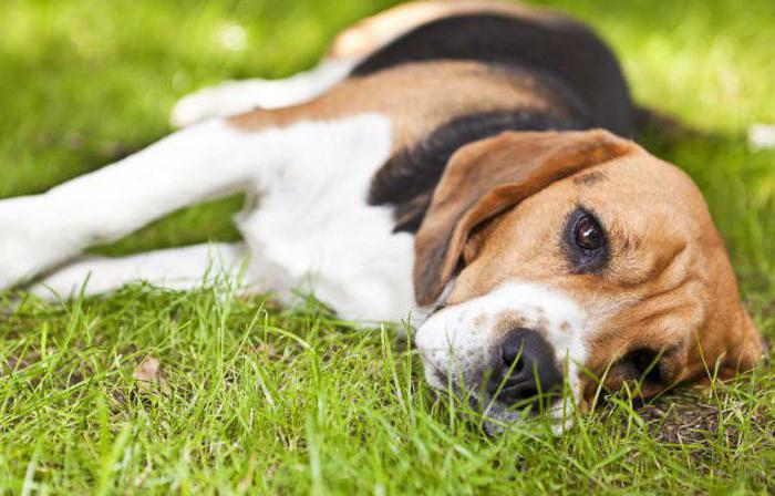 боррелиоз у собак симптомы и лечение