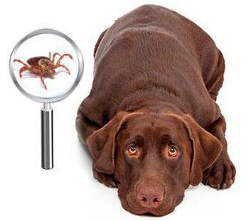 болеют ли собаки боррелиозом