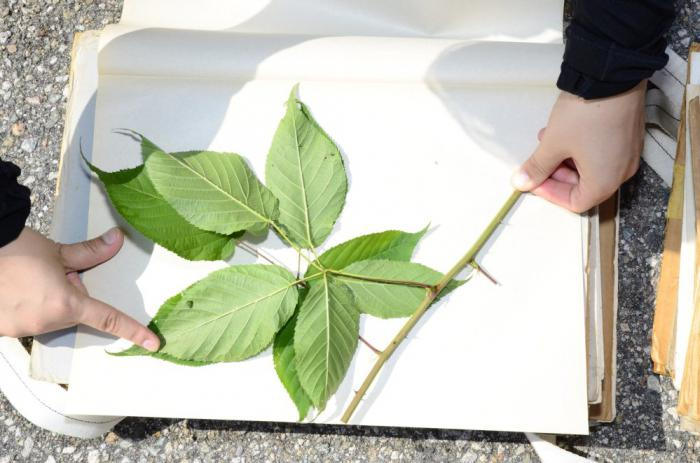 Как собирать, хранить и оформлять гербарии из листьев?