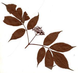 фото листьев гербарии из