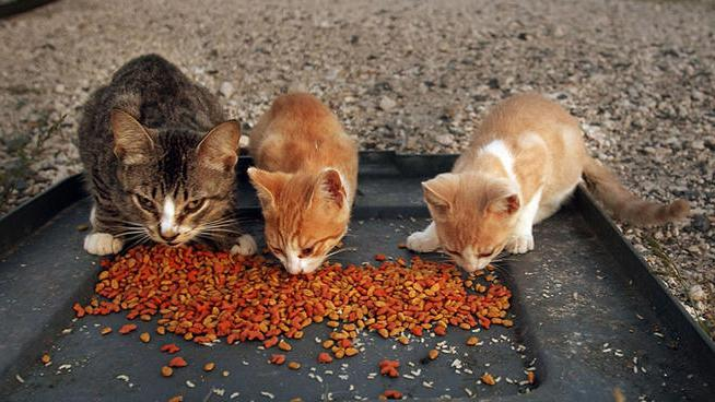 пищевое отравление у кошки