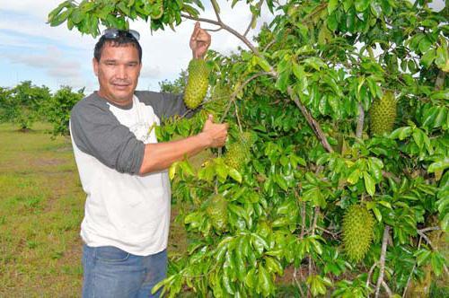 дерево гуанабана где растет
