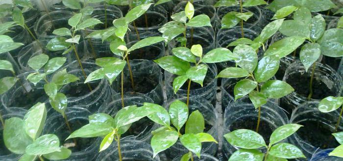 гуанабана вырастить в домашних условиях