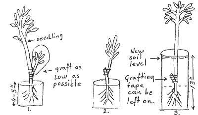 как вырастить гуанабана