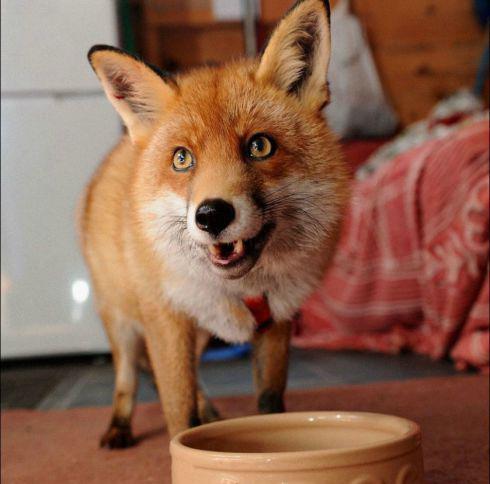 содержание лисы в домашних условиях
