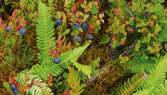 растения соснового леса