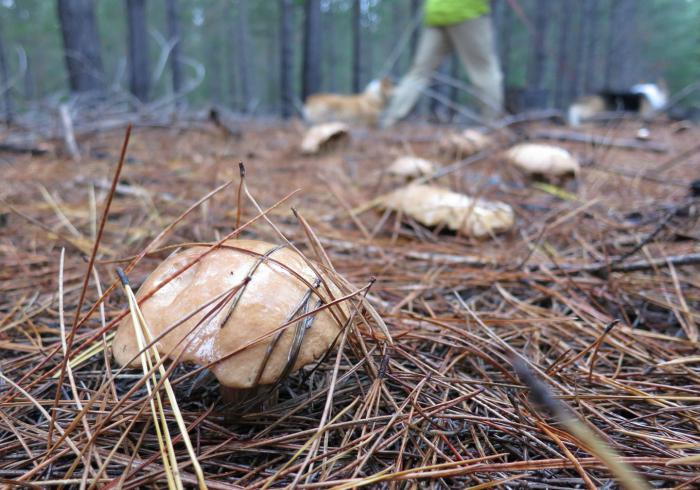 грибы сосновых лесов