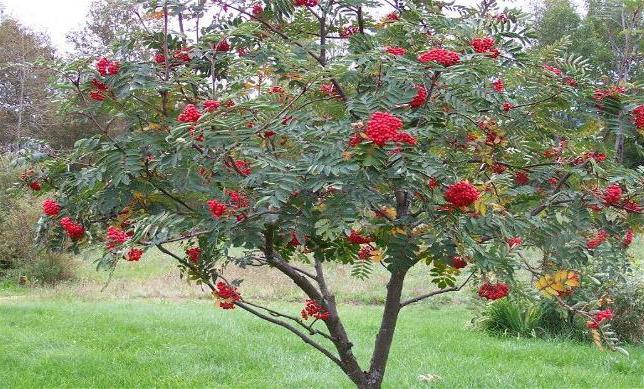 рябина дерево фото
