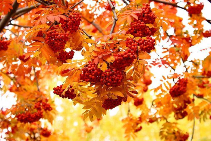 дерево рябина осенью