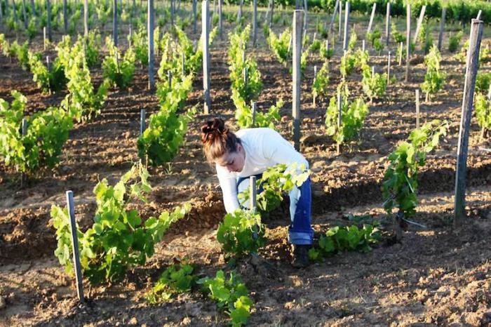 виноград весной