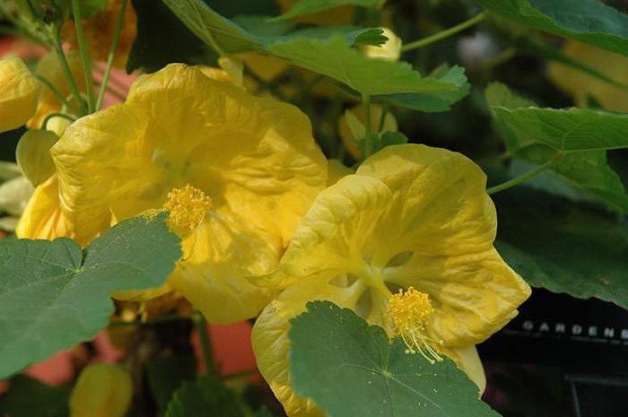 комнатные цветы с желтыми цветами