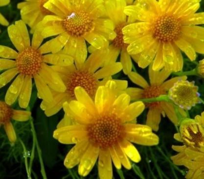 Цветы похожие на ромашку но не ромашка