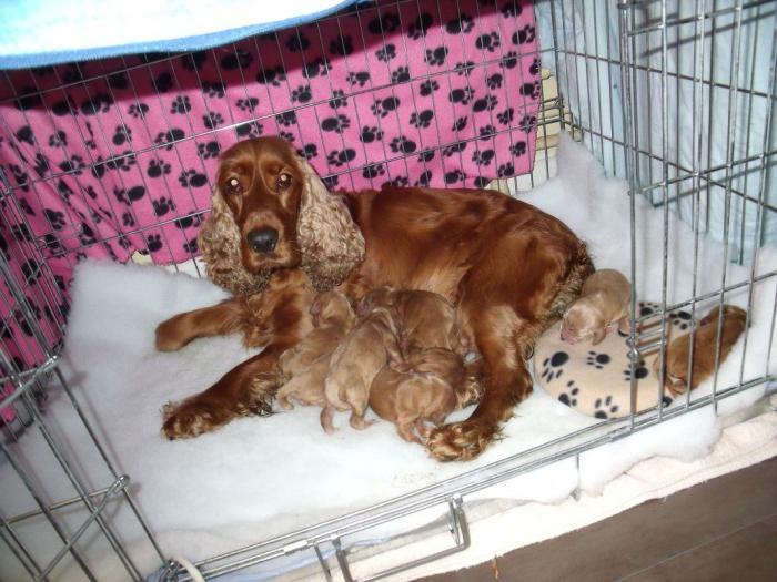 беременность собак длится