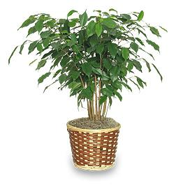 Фикус бенджамина желтеют и опадают листья