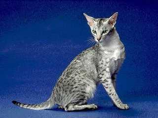 Все об уходе за сиамской кошке