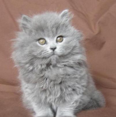 бриÑ'анская длинношерсÑ'ная кошка цена