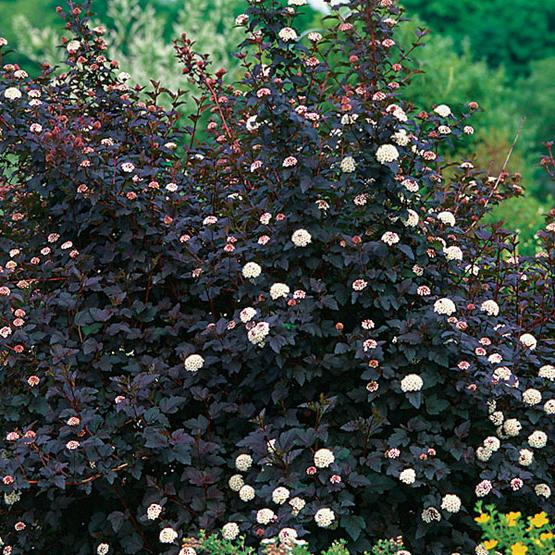как выглядит растение мангустин