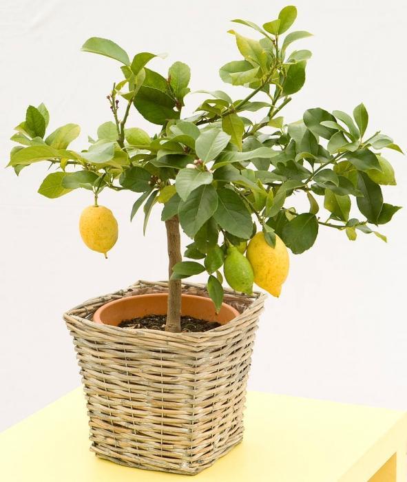 Условия выращивания лимона в домашних условиях 93