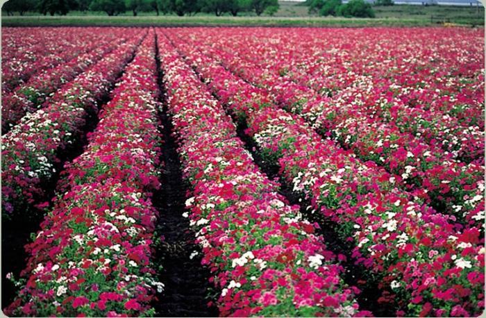 флоксы  выращивание