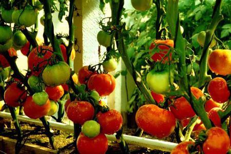 на какой день всходят помидоры