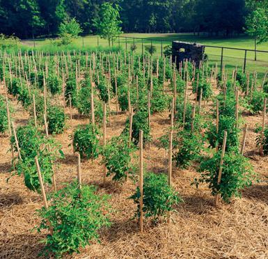 через сколько дней взойдут помидоры