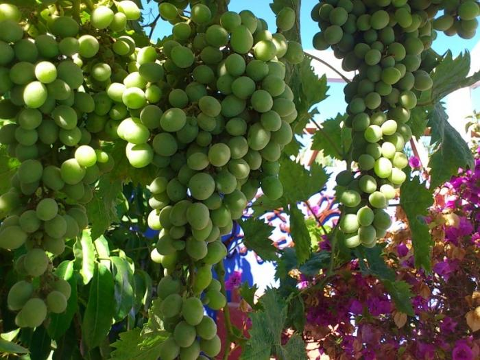 Обрезка винограда когда и как правильно ее делать - 98