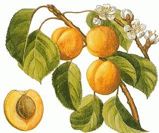 Как растить абрикос из косточки? Советы садоводов