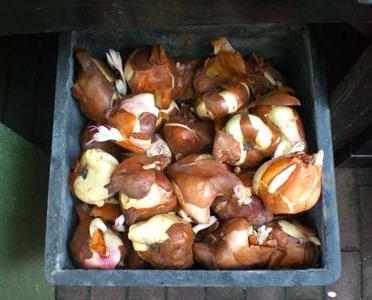 Хранение луковиц тюльпанов в домашних условиях зимой