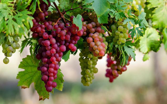 Виноград: калорийность на 100 грамм