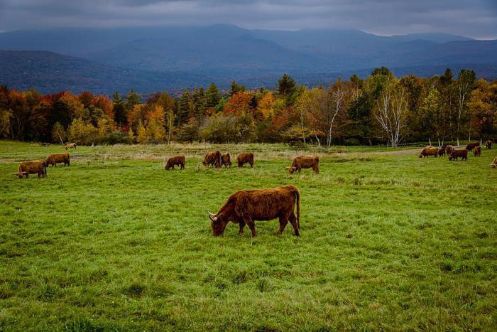 К чему снится бык нападает с рогами черный бык убегать от быка