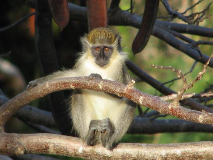 Сексуальность обезьяны мужчина