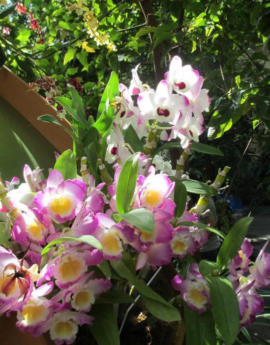 К чёму снится орхидея