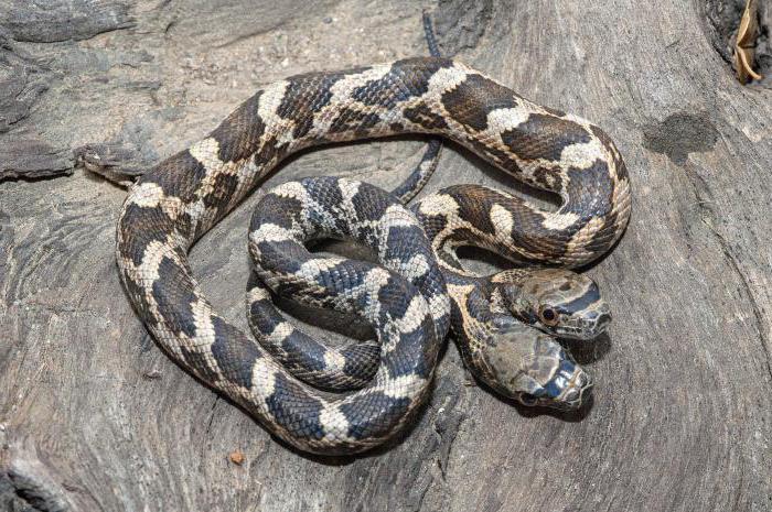 сонник змея с двумя головами