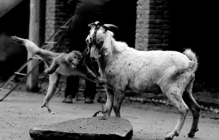 рассказы секс мужчин с козой