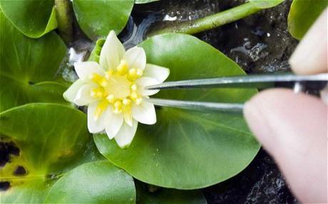 Одолень-трава (растение): фото, магические свойства, значение