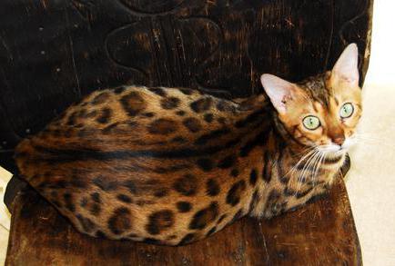 К чему снится беременная кошка? Как расшифровывать странные сны?