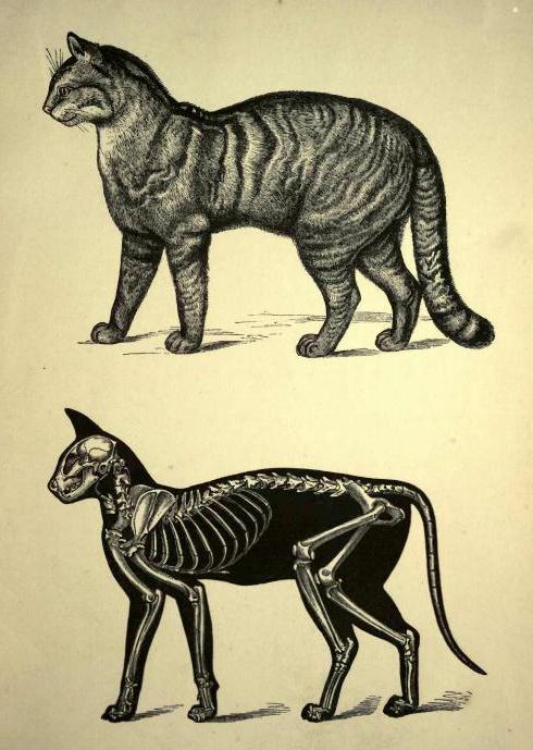 кошки скелет фото