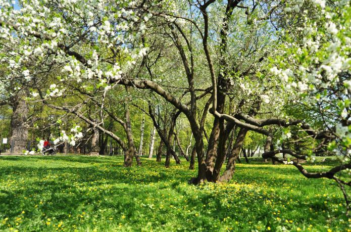 яблуневі сади
