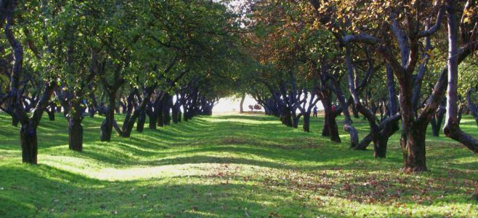 Яблуневий сад фото